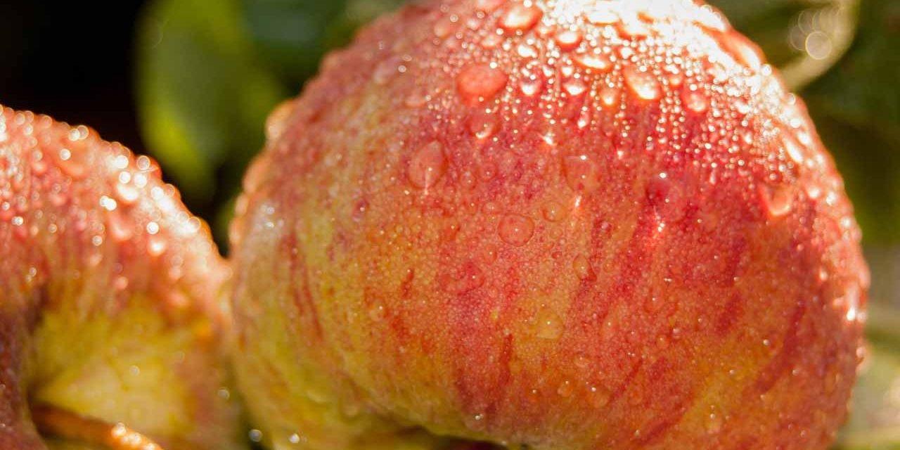 Comment dérider des pommes ?