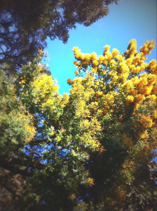 Comment conserver du mimosa plus longtemps ?