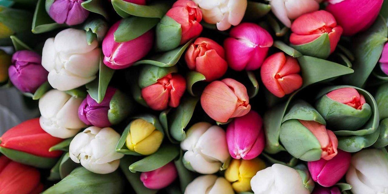 Des tulipes qui se tiennent droites