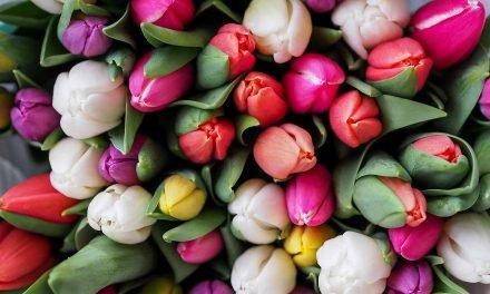 Des tulipes qui tiennent